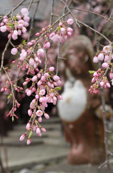 桜は開花寸前。